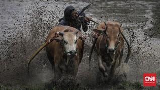 FOTO: Pacu Jawi di Tanah Datar