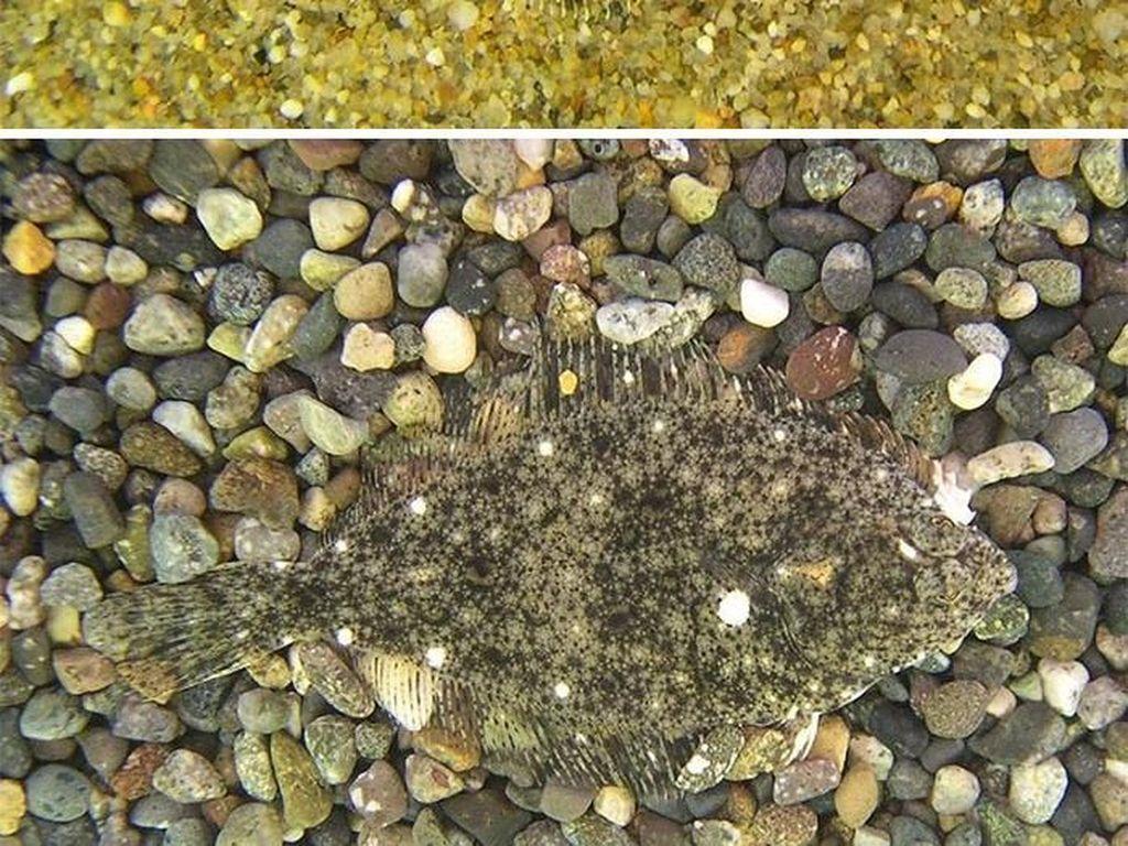 Ikan batu. Foto: Live Science