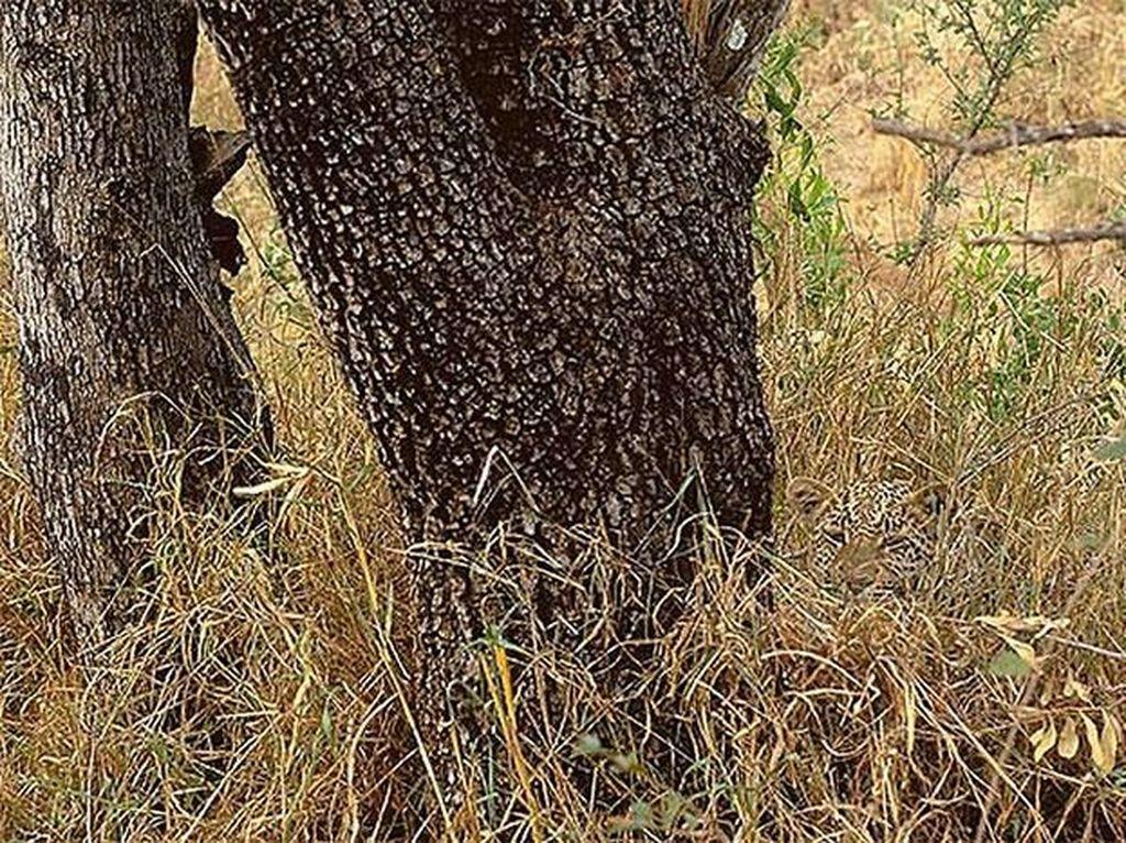 Leopard. Foto: Live Science