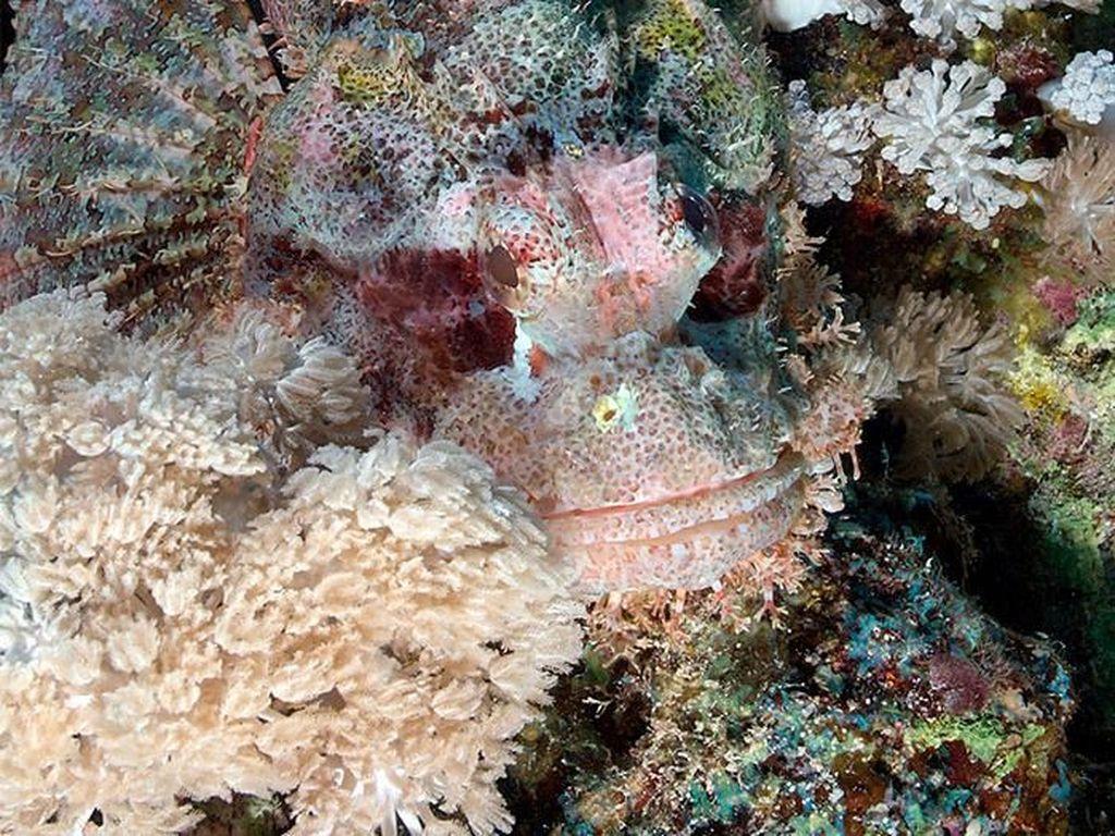 Ikan kalajengking. Foto: Live Science