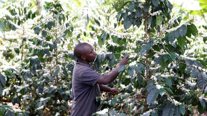 Kenya dikenal sebagai penghasil kopi terbaik terbaik dunia