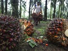 Meroket! Industri Sawit Happy, Harga CPO di Atas RM 3.000/ton