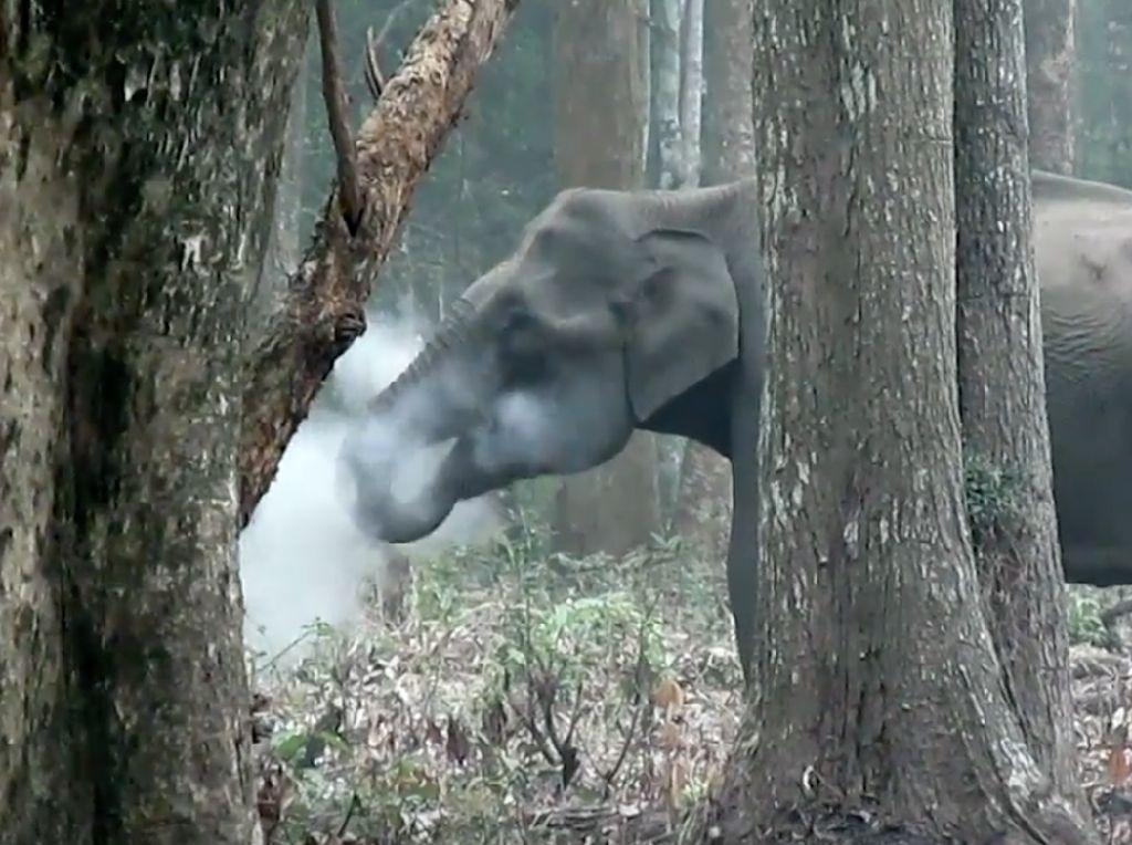 Foto: Gajah Merokok di India