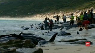 VIDEO: Ratusan Paus Pilot Terdampar di Australia