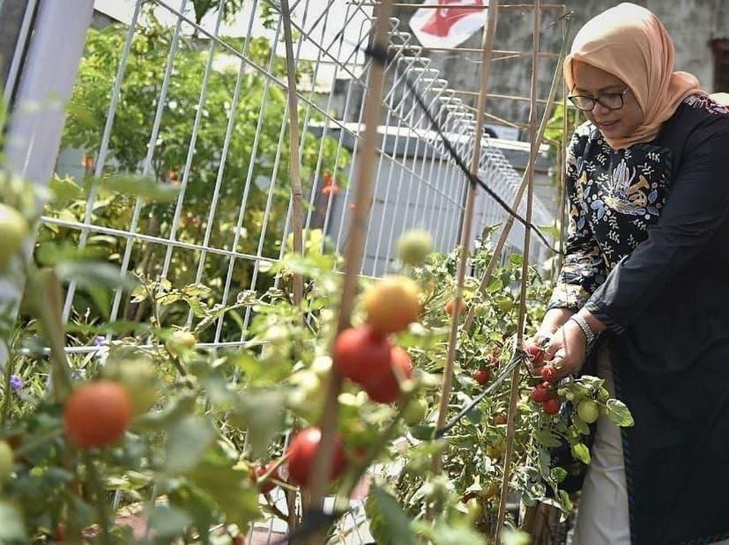 Ini Aksi Fery Baswedan Saat Petik Tomat hingga Potong Tumpeng