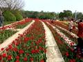 VIDEO: Indahnya Hamparan Bunga Musim Semi di China