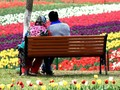 Menikmati Musim Mekar Bunga Tulip di India
