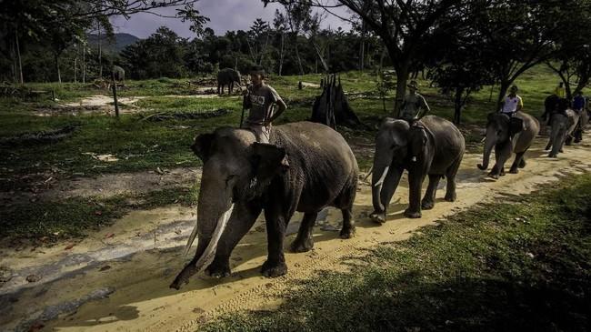 Beberapa penyebab menurunnya jumlah gajah antara lain konflik dengan manusia, perburuan gading, hingga menyusutnya jumlah hutan sebagai habitat asli. (dok.ANTARA FOTO/FB Anggoro)