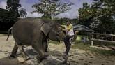 Setiap tiga bulan, 30 pawang (mahout) dan tenaga medis akan rutin merawat serta memberikan obat bagi gajah. (dok.ANTARA FOTO/FB Anggoro)