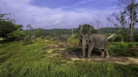 Kawanan Gajah Rusak 25 Hektare Kebun Sawit di Aceh