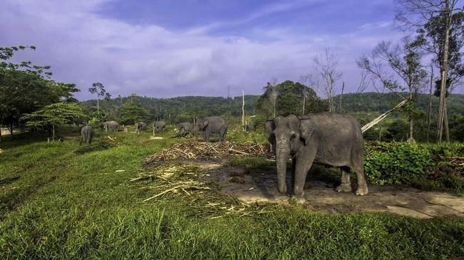 Data Forum Konservasi Gajah Indoensia mencatat populasi gajah Sumatera (Elephas Maximus Sumatranus) menurun drastis hingga 70 persen dalam 20-30 tahun terakhir.(dok. ANTARA FOTO/FB Anggoro)