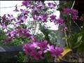 Melania Trump Diabadikan Sebagai Nama Bunga Anggrek Hibrida