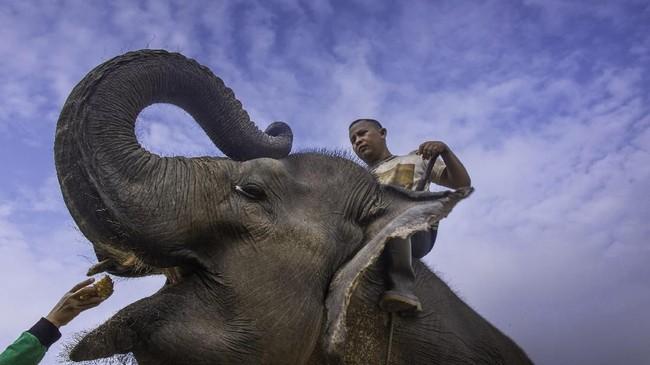 Di tempat ini, ada 16 ekor gajah Sumatera. Dari jumlah itu, 11 di antaranya merupakan gajah jantan yang sebagian di antaranya --awalnya adalah gajah liar. (dok.ANTARA FOTO/FB Anggoro)
