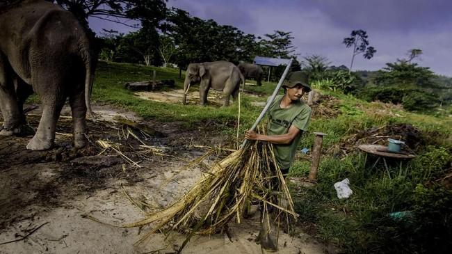Sejak dibentuk pada 1988, suaka gajah yang dahulu bernama Pusat Latihan Gajah (PLG) Riau mengalami pasang surut. (dok.ANTARA FOTO/FB Anggoro)