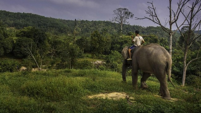 Kelompok gajah yang telah jinak ini kerap diandalkan untuk meredakan konflik antara manusia dan gajah liar. (dok.ANTARA FOTO/FB Anggoro)