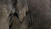 Konflik gajah vs manusia di Riau hingga kini cukup tinggi karena bagi sebagian warga di sana, gajahdianggap sebagai hama. (dok.ANTARA FOTO/FB Anggoro)