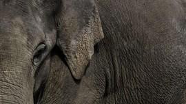 Dua Orang Ditetapkan Tersangka Kasus Pembunuhan Gajah Bunta