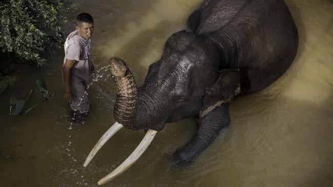 Pusat Konservasi Gajah (PKG) di daerah Minas, Kabupaten Siak, Riau, menjadi suaka kecil untuk kelangsungan hidup gajah. (dok.ANTARA FOTO/FB Anggoro)