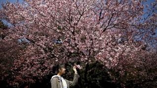 Melacak Bunga Sakura Lewat Aplikasi