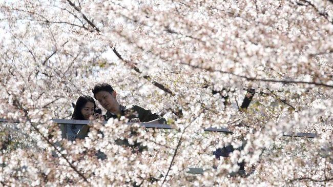 Mandi Bunga Sakura, Atraksi Wisata Baru di Tokyo