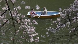 Jadwal Musim Mekar Sakura di Jepang Tahun Ini