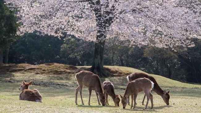 Kerap Dijahili Turis, Rusa di Jepang Mulai Menggigit