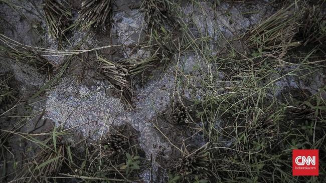 Limbah industri menyebabkan padi di Desa Sukamulya berkualitas buruk sehingga berdampak harga beras yang jatuh. Petani menunjukkan padi yang terkena imbas pada Sabtu (31/3) karena sistem irigasi pun diserang limbah. (CNNIndonesia/Adhi Wicaksono).