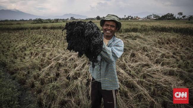 Dadang, salah seorang petani Majaleya, menunjukkan tanah yang menempel di tanaman padi warga berwarna hitam akibat pencemaran. Limbah pabrik tidak hanya mencemari air tapi telah mengendap di tanah. (CNNIndonesia/Adhi Wicaksono).