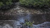 Hutan bakau terkontaminasi oleh tumpahan minyak di desa Kariangau, Teluk Balikpapan, Kalimantan Timur. (Greenpeace / Jurnasyanto Sukarno)