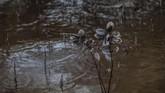 Daun-daun hitam dari pohon bakau yang terkontaminasi oleh tumpahan minyak di desa Kariangau, Teluk Balikpapan, Kalimantan Timur. (Greenpeace / Jurnasyanto Sukarno)