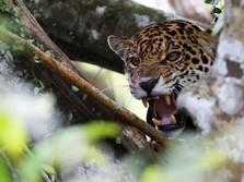Kehidupan Jaguar Brasil yang Mulai Terancam