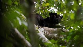 FOTO: Ekspedisi Macan Kumbang Amazon