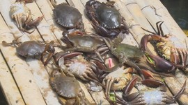 Ratusan Kepiting Mati Akibat Limbah Minyak