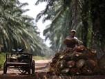 India Boikot CPO Malaysia, Saham Emiten Sawit Berguguran