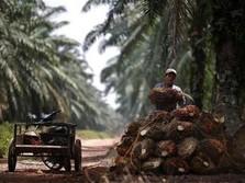 Harga CPO Bulan Juni Turun 2,25%, Kakao Naik 8,49%