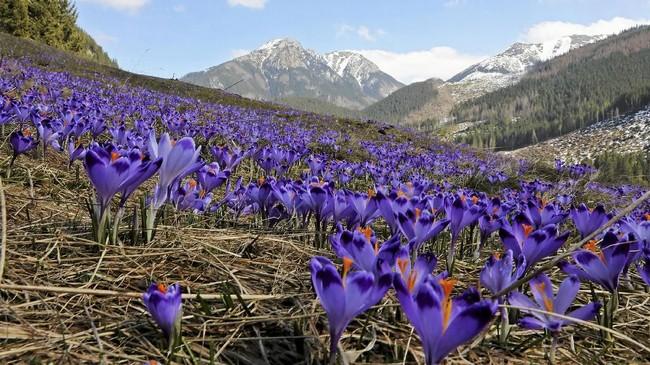 Bunga-bunga Crocus bermekaran yang menandakan musim semi telah tiba. Bunga-bunga ini terdapat di lembah Chocholowska di Pegunungan Tatra, dekat Zakopane, Polandia. (Agencja Gazeta/Marek Podmokly)