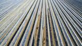 Foto udara yang diambil menggunakan pesawat nirawak memperlihatkan para pekerja sedang memotong tanaman asparagus di bagian selatan kota Suenching, Jerman. Saat ini musim panen asparagus sedang berlangsung. (AFP PHOTO / dpa / Armin Weigel)