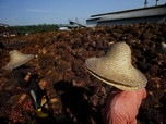 Malaysia Bujuk Rayu India dengan Gula, Harga CPO Masih Turun