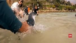 VIDEO: Sembuh dari Cedera, Lima Penguin Dilepas ke Alam Bebas