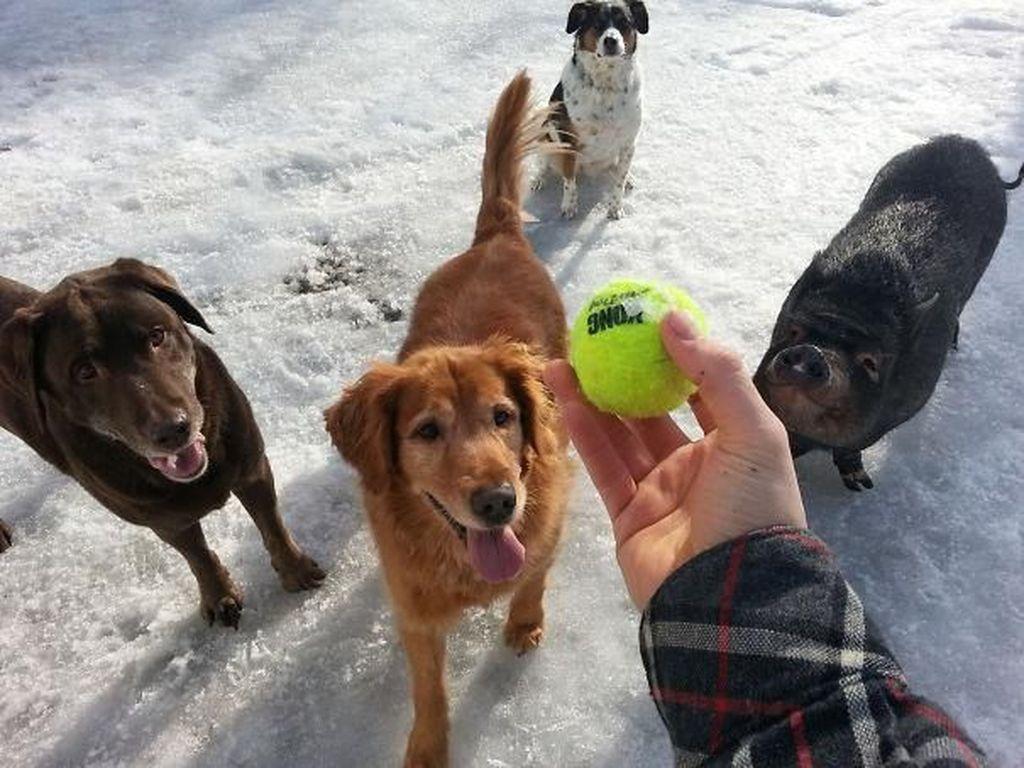 Sekawanan anjing ini punya teman yang berbeda. Foto: Imgur