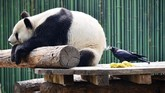 Seekor burung gagak mematuk-matuk rambut seekor panda raksasa yang sedang beristirahat di kebun binatang Beijing, China. (AFP PHOTO / - / China OUT)