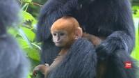 VIDEO: Monyet Daun yang Terancam Punah Melahirkan 3 Anak