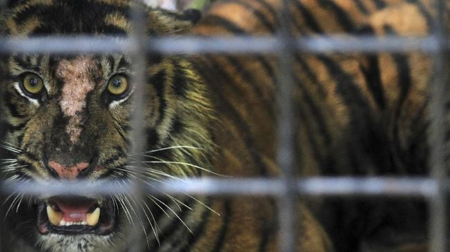 Harimau Masuk Perangkap, BKSDA Antisipasi Balas Dendam Warga