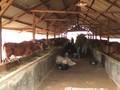 VIDEO: Jelang Puasa, 40 Ribu Ton Daging Sapi Impor Masuk RI