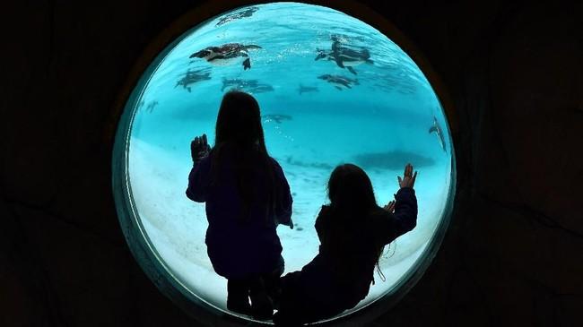 Kolam penguin di Kebun Binatang London, Inggris.Penguin disebut sebagai salah satu makhluk hidup yang monogamus dan sangat setia terhadap pasangannya. (AFP PHOTO/BEN STANSALL)
