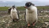 Dua ekor penguin di Ardley Island, Antartika. Setelah betina bertelur, mereka pergi berburu makanan. Penguin jantan lalu mengerami telur sampai sang betina kembali. (AFP PHOTO/Mathilde BELLENGER)