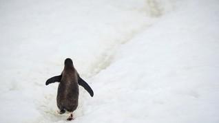 Penguin Antartika Mulai Tertular Bakteri Bawaan Turis