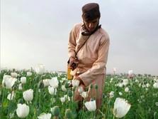 Lebih Untung, Petani Afghanistan Pilih Tetap Tanam Opium