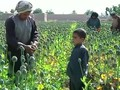 VIDEO: Petani Afghanistan Panen Opium
