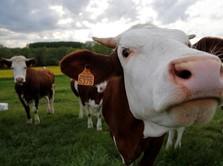 Maaf Steak Lovers, Sapi Australia Mungkin Hilang di Pasaran